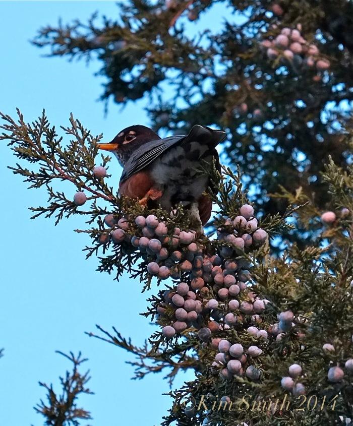 Eastern Red Cedar American Robin ©Kim Smith 2014