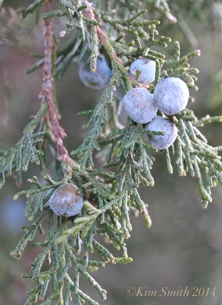 Eastern Red Cedar Juniperus virginiana  copy