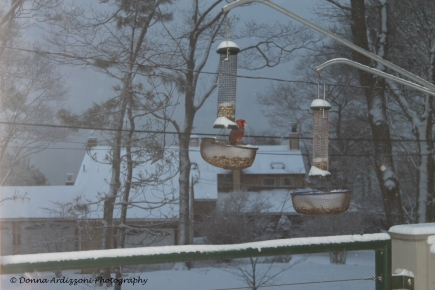February 3, 2014 happy Cardinal in the snow