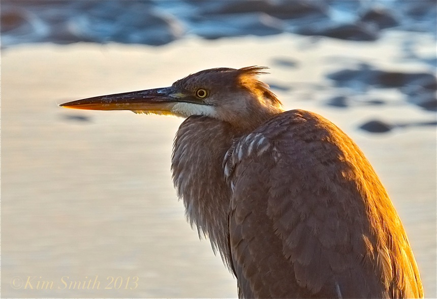 Great Blue Heron Good Harbor Beach ©Kim Smith 2013