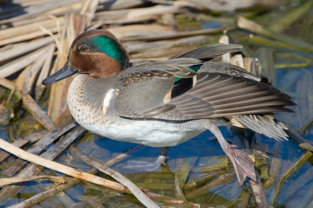 Green-Winged Teal, Birding Center, Port Aransas, Texas