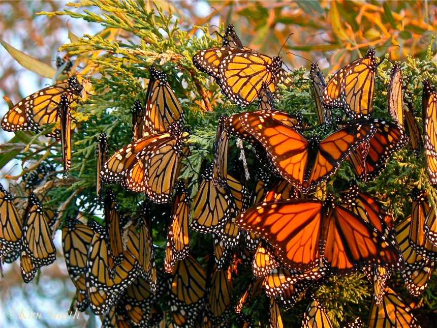 Monarch Butterflies Gloucester Massachusetts ©Kim Smith 2006