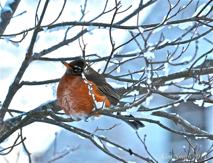 American Robin ©Kim Smith 2014