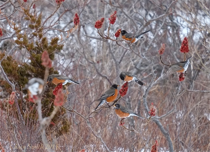 American Robin Flock ©Kim Smith 2014
