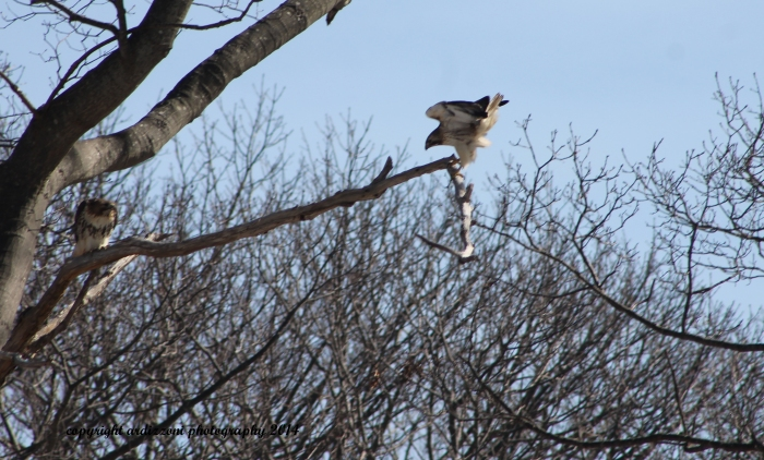 March 7, 2014 peregrine falcon