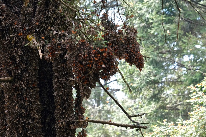 Monarch Butterflies at Sierra Chincua