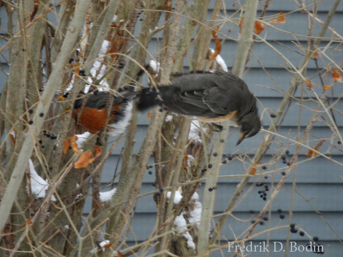 This photo was taken from my kitchen window one year ago. Spring brings promise, and I'm looking forward to it. If you think this is not an American Robin, please let us know.