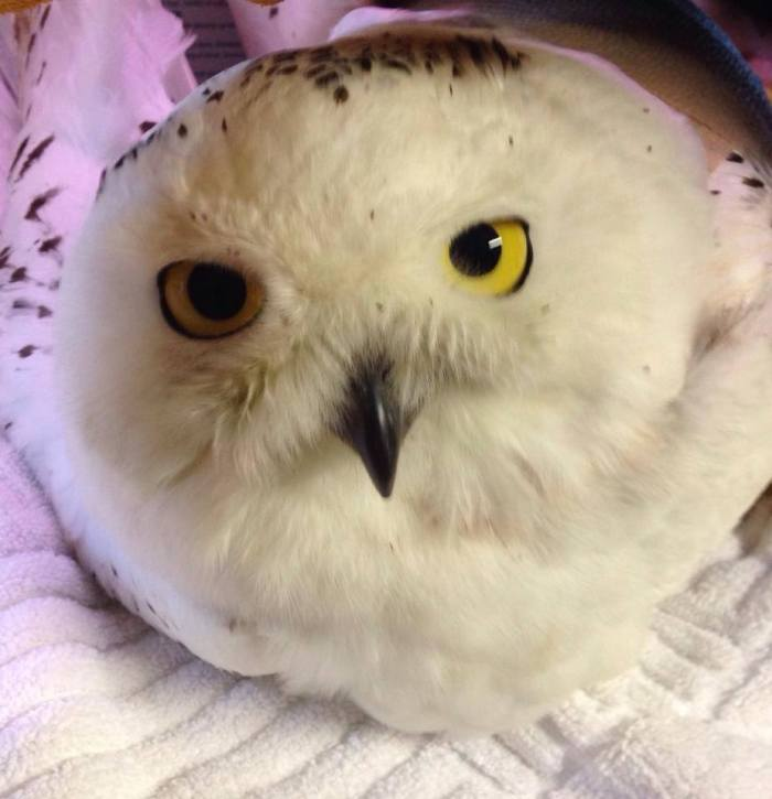 Got a snowy with a horrible wing fracture   Animal rescue league of Boston is picking her up in the morning to take her out to tufts, please pray she can be mended up enough to be an educational bird.