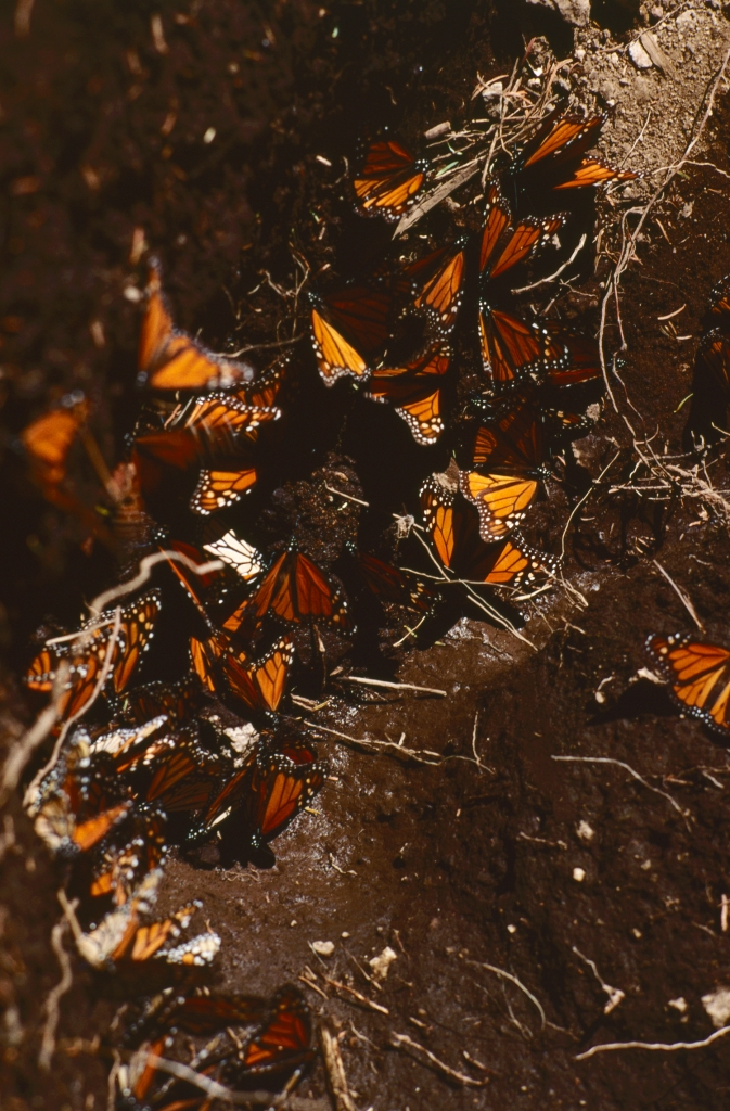 3-41 Mexico 1999, El Rosario Sanctuary, monarch butterflies