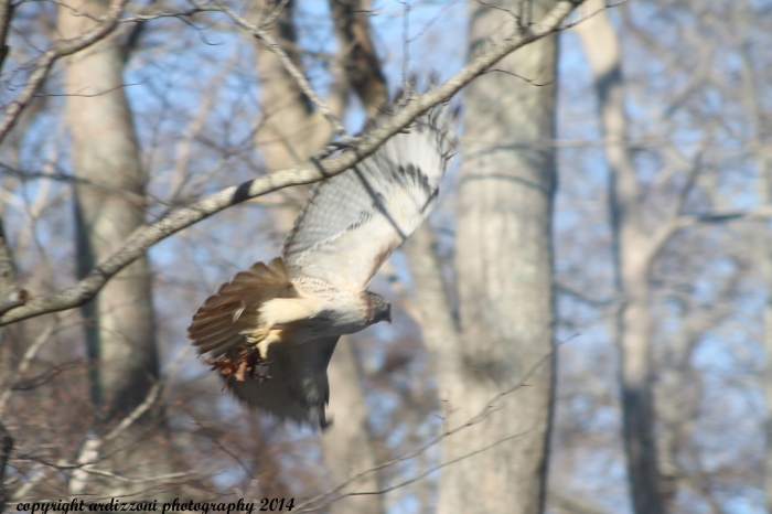 April 1, 2014 Red Tail Hawk