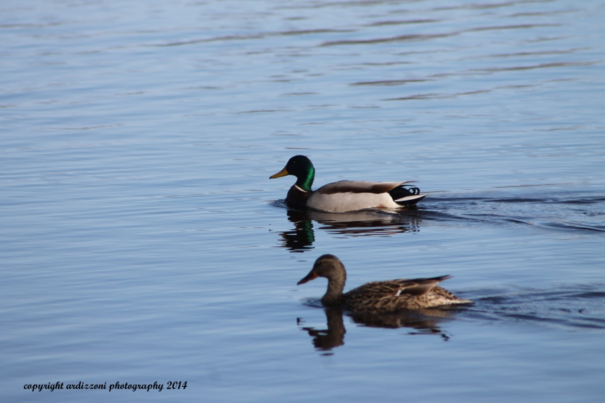 April 16, 2014 couple of ducks taking an afternoon swim