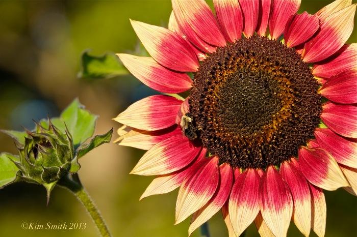 Autumn Beauty Sunflower ©Kim Smith 2013