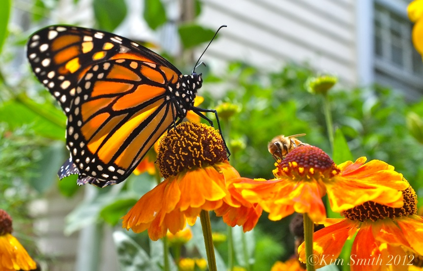 Bee and Monarch Butterfly ©Kim Smith 2012