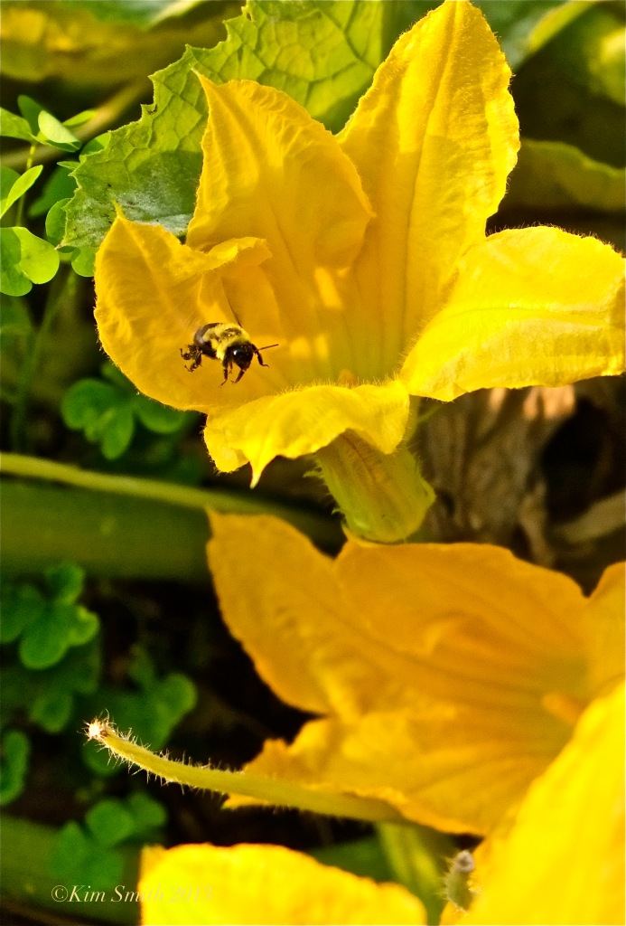 Bee Pollinating Squash Blossom ©Kim smith 2013