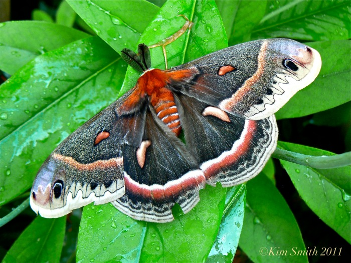 Cecropia Moth ©Kim Smith 2011