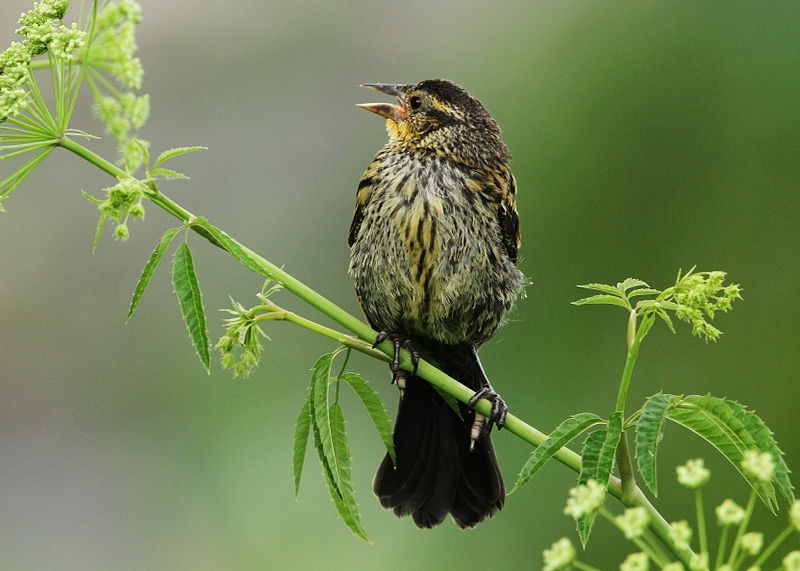 Female_Red-winged_Blackbird manijith Kainickara