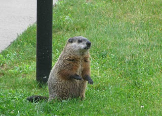 "There's not a lot of wildlife in Rockport, except for coyotes. This afternoon I saw a large rodent peek out from the alleyway between the Kohl generator and utility building. A Google search to ID the animal led me to this: ""This is my pet groundhog, Fred. Ok, he's not my pet. Fred just looks adorable, lives on my property and eats all the food growing in my garden. Come to think of it, Fred sounds like my kids! Fred has the most luxurious coat - deep rich brown, underlayed with soft black and highlighted with a silver grey. He reminds me of a couple of beautiful fabrics from Norbar."" Photo and text from: http://thefocusondesign.blogspot.com/2010/07/color-series-this-is-fred.html"