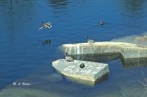 Ducks enjoying the sun.