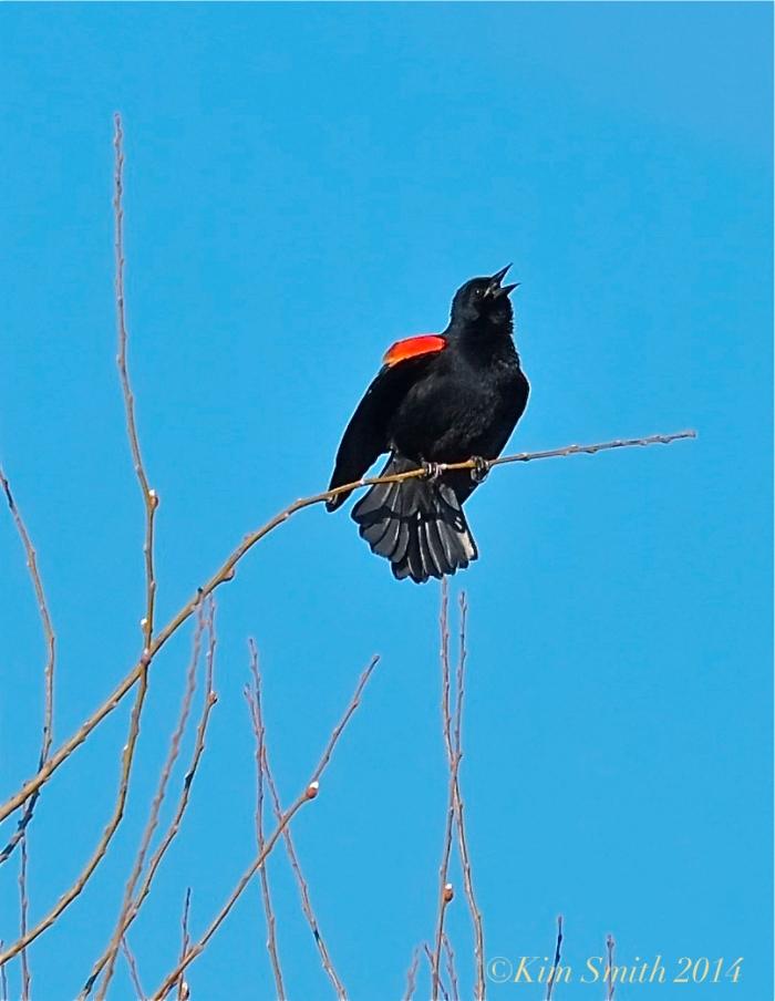 Male Red-winged Blackbird Singing ©Kim Smith 2014