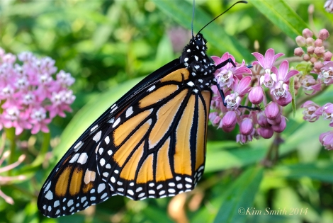Monarch Butterfly marsh Milkweed ©Kim Smith 2012