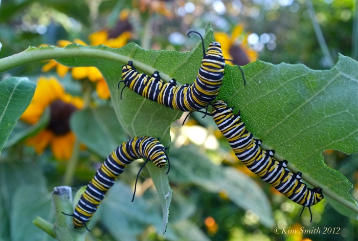Monarch Caterpillars Eating Common Milkweed ©Kim Smith 2012JPG