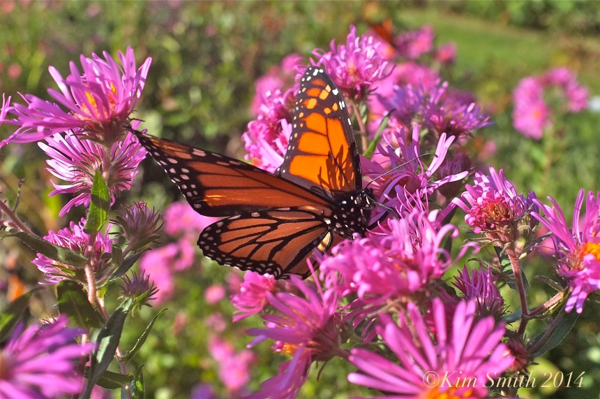 New England Aster and Monarch Butterfly ©Kim Smith 2014