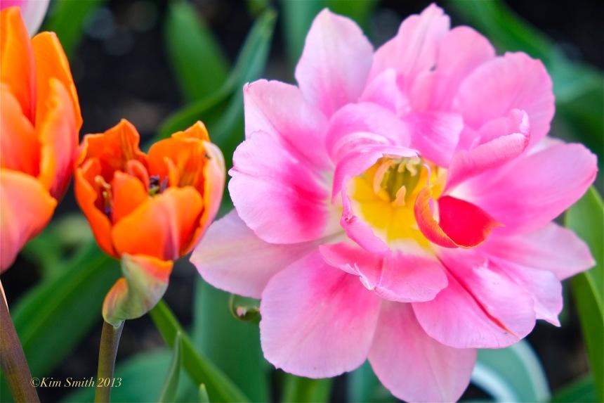 Pink Tulip ©Kim Smith 2013