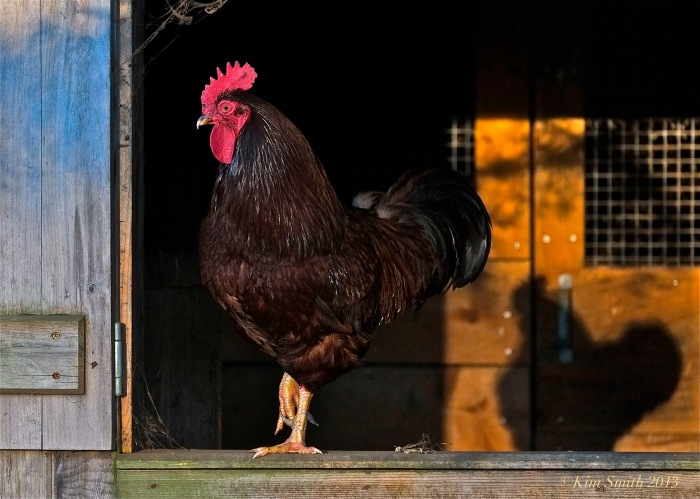 Rooster ©Kim Smith 2013