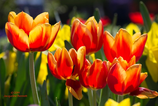 warm tulips