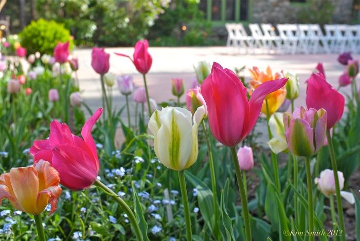 Willowdale Estate Tulips ©Kim Smith 2012