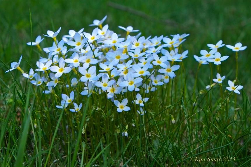 Azure Bluets, Quaker Ladies, Houstonia caerulea -2 ©Kim Smith 2014