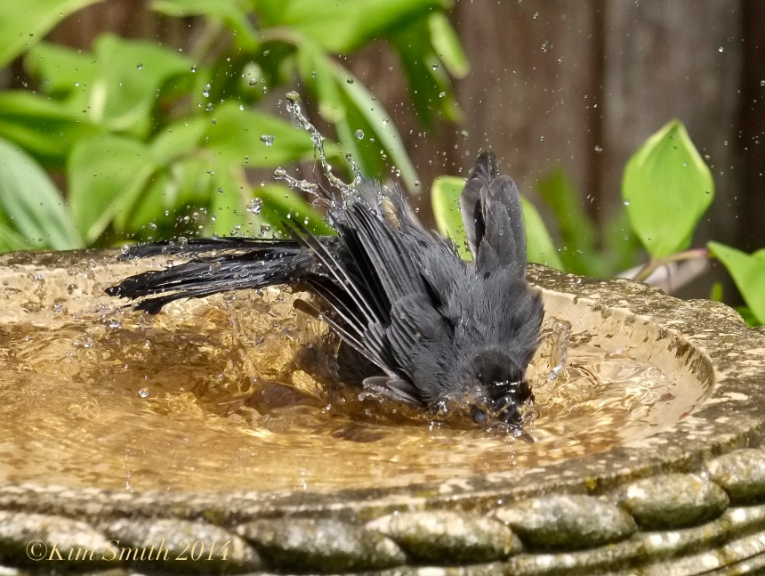 Bird Bath Gray Catbird ©Kim Smith 2014