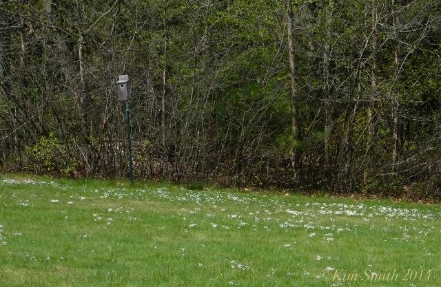 Blue bird nesting box Azure Bluets, Quaker Ladies, Houstonia caerulea Field ©Kim Smith 2014