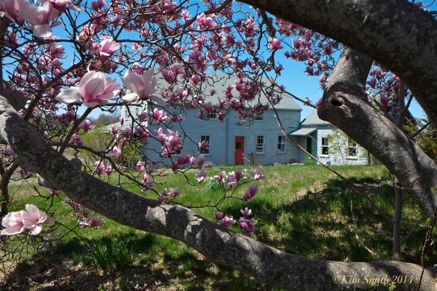 Burnham House Essex MA Magnolia ©Kim Smith 2014