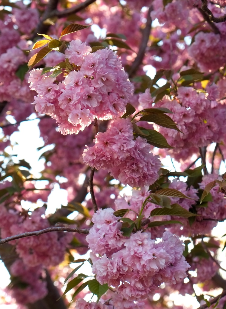 Cherry Tree ©Kim Smith 2014