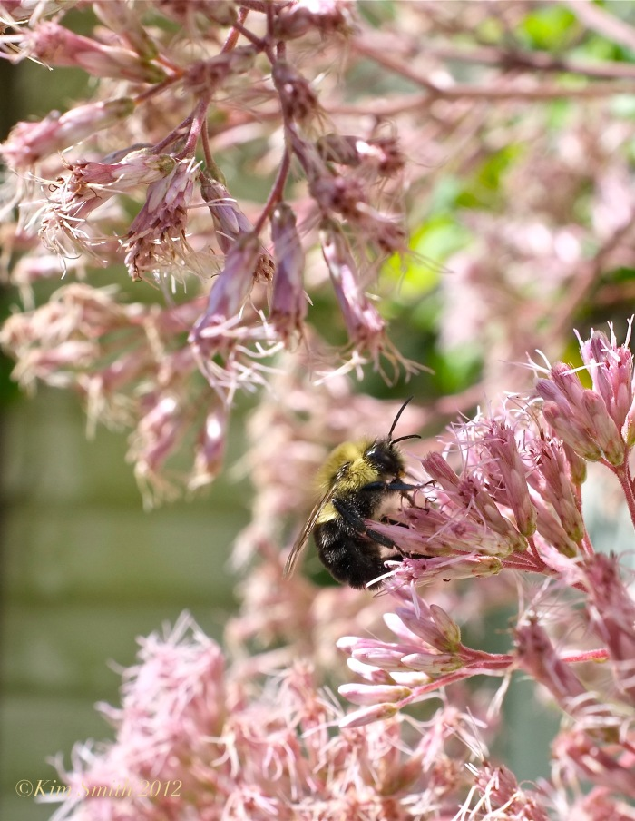 Eupatorium and Bee ©Kim Smith 2012