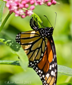 Female Monarch Egg Marsh Milkweed ©Kim Smith 2011