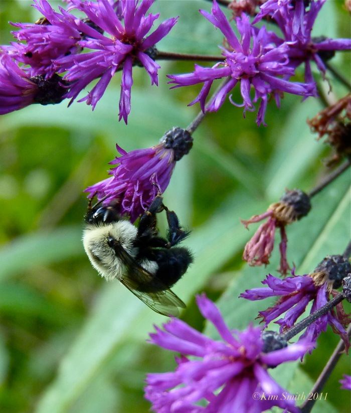 Ironweed Bee ©KIm Smith 2011