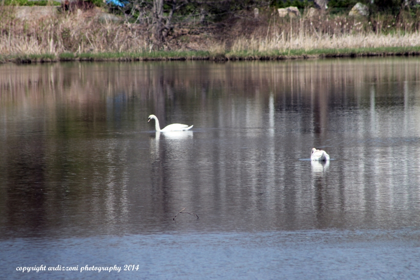 May 12, 2014 swans in Clarke Pond