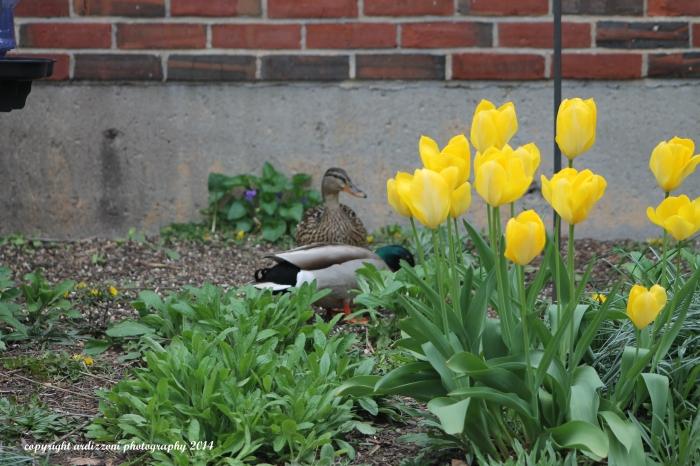 May 5, 2014 ducks visiting Fred