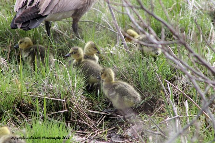 May 6, 2014 Goslings in the marsh