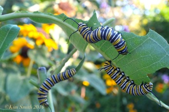 Monarch Caterpillars Common Milkweed ©Kim Smith 2012