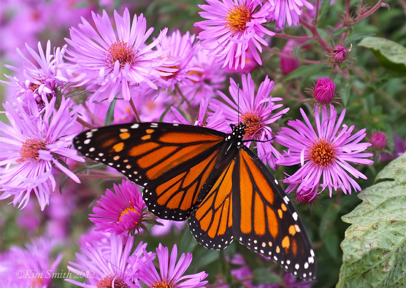 monarch-new-england-aster-c2a9kim-smith-2013