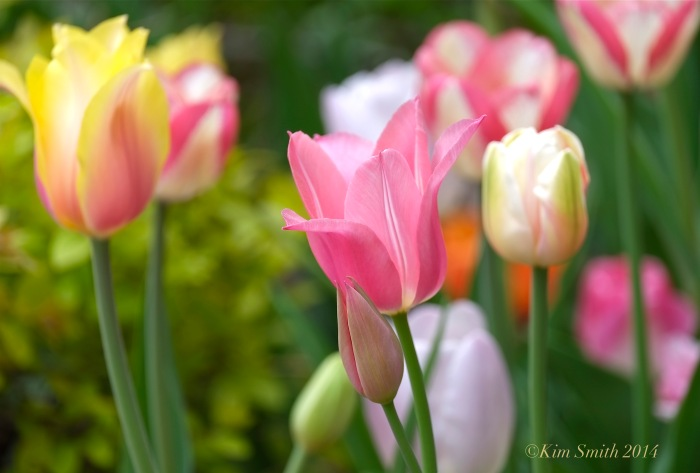 Pink Tulips Willowdale Estate ©Kim Smith 2014