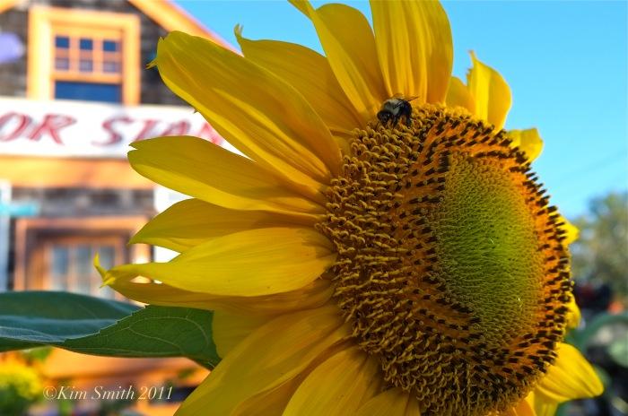 Sailor Stan sunflower and bee ©Kim Smith 2011