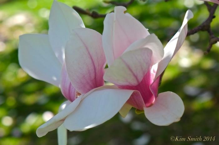 Saucer Magnolia ©Kim Smith 2014