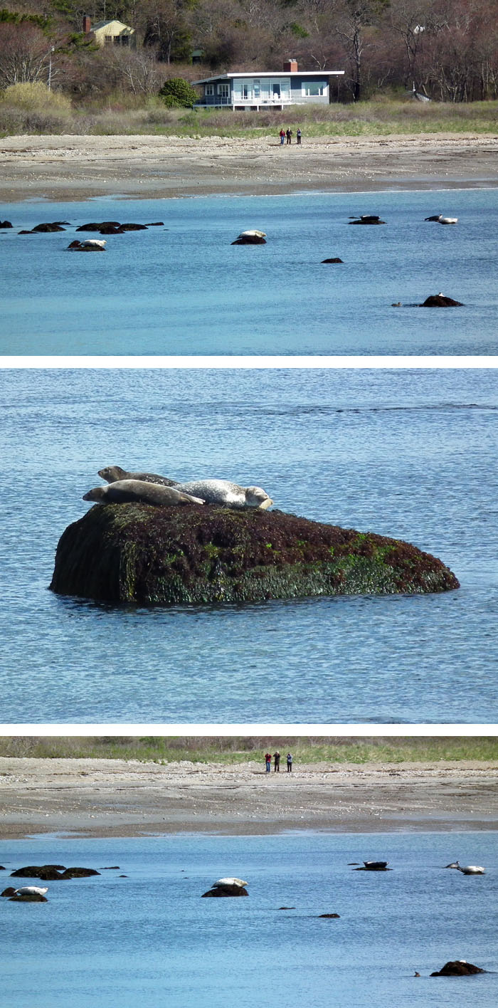 seal watching at brace cove
