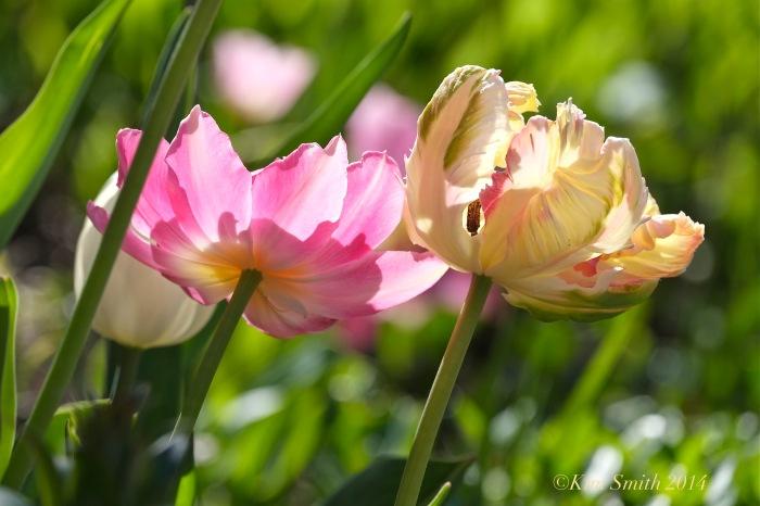 Spring Tulips Willowdale Estate ©Kim Smith 2014.