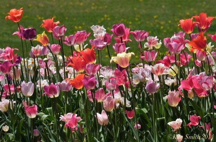 Tulips Willowdale Estate ©Kim Smith 2014.