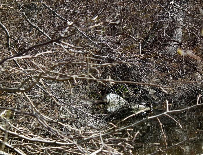 turtles at niles pond
